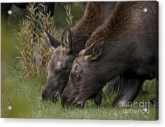Young Moose Acrylic Print by Earl Nelson