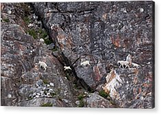 Young Mountain Goat Jumps Acrylic Print