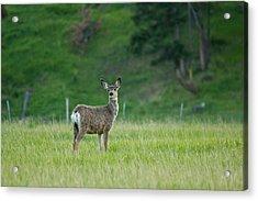 Young Mule Deer Acrylic Print by Eti Reid