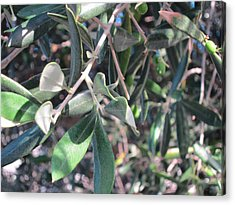 Young Olives Acrylic Print by Pema Hou