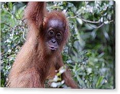 Young Orangutan Kiss Acrylic Print