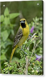 Young Orchard Oriole Acrylic Print