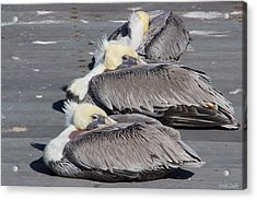 Young Pelicans Acrylic Print by Heidi Smith