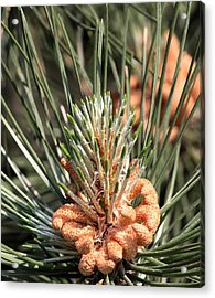 Acrylic Print featuring the photograph Young Pine Cone  by Ramabhadran Thirupattur