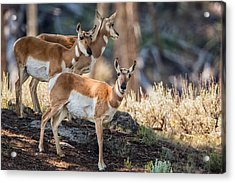 Young Pronghorn At Yellowstone Acrylic Print