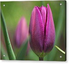Young Purple Tulips Acrylic Print by Rona Black
