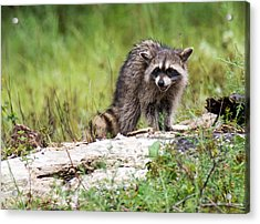 Young Raccoon Acrylic Print