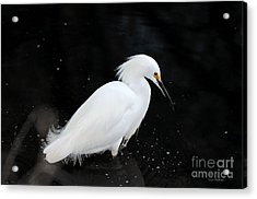 Acrylic Print featuring the photograph Young Snowy Egret by Susan Wiedmann