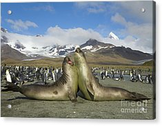 Young S Elephant Seal Playing Acrylic Print