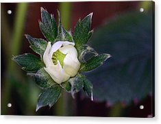 Young Strawberry Acrylic Print by Lisa Phillips