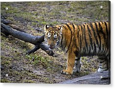 Young Tiger Acrylic Print by Thomas Woolworth