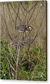 Young Tricolored Heron In Nest Acrylic Print