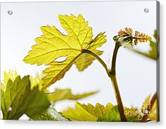 Young Vine Leaves At Spring Acrylic Print by Sami Sarkis