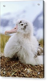 Young Wandering Albatross (diomendea Acrylic Print