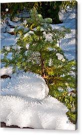 Young Winter Pine Acrylic Print