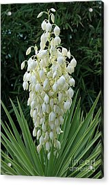 Yucca Blossoms Acrylic Print
