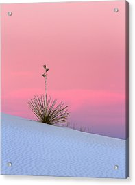 Yucca On Pink And White Acrylic Print by Kristal Kraft