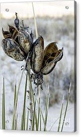 Yucca Seed Pods Acrylic Print