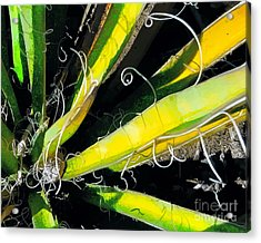 Yucca Spirals Acrylic Print