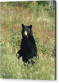 Yukon Black Bear Acrylic Print