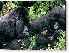 Zaire, Virungas National Park, Virungas Acrylic Print