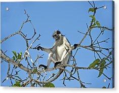 Zanzibar Red Colobus Monkey In A Tree Acrylic Print by Tony Camacho