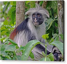 Zanzibar Red Colobus Monkey Acrylic Print by Tony Murtagh