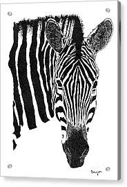Zebra 1 Acrylic Print