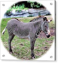 Acrylic Print featuring the photograph Zebra 1 by Dawn Eshelman