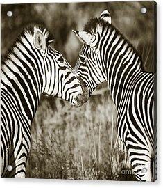 Acrylic Print featuring the photograph Zebra Affection by Liz Leyden