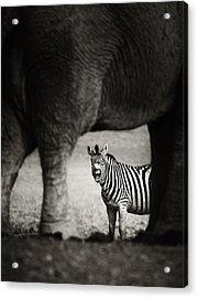 Zebra Barking Acrylic Print by Johan Swanepoel