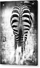 Zebra Butt Acrylic Print by Adam Romanowicz