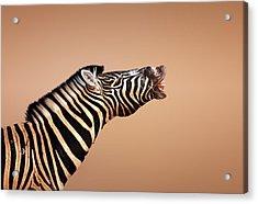Zebra Calling Acrylic Print by Johan Swanepoel