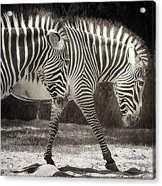 Zebra Acrylic Print by Diane Dugas