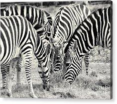 Zebra Dinner Time   Acrylic Print by Raymond Earley