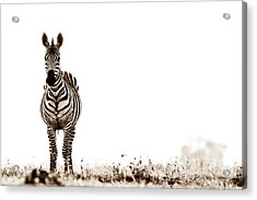 Zebra Facing Forward Washed Out Sky Bw Acrylic Print