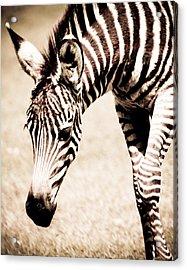 Zebra Foal Sepia Tones Acrylic Print by Maggy Marsh