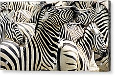 Acrylic Print featuring the photograph Zebra Gathering by Dennis Cox WorldViews