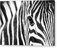 Zebra Gaze Acrylic Print