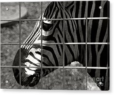 Acrylic Print featuring the photograph Zebra Grid by Tom Brickhouse