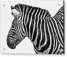 Zebra - Happened At The Zoo Acrylic Print by Jack Zulli