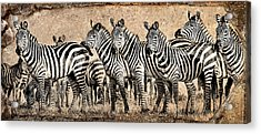Zebra Herd Rock Texture Blend Acrylic Print by Mike Gaudaur