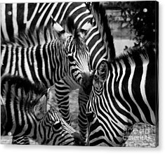 Acrylic Print featuring the photograph Zebra In A Crowd by Tom Brickhouse