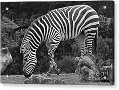 Acrylic Print featuring the photograph Zebra In Black And White by Kate Brown