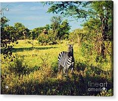 Zebra In Grass On African Savanna. Acrylic Print by Michal Bednarek