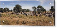 Acrylic Print featuring the photograph Zebra by Joseph G Holland