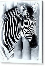 Zebra Acrylic Print by Kathleen Struckle