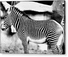Acrylic Print featuring the photograph Zebra by Kristine Merc
