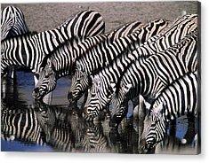 Zebra Line Acrylic Print by Stefan Carpenter