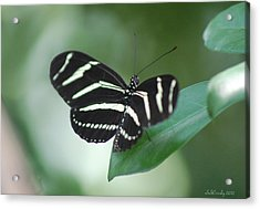 Zebra Longwing Butterfly A Quite Moment Acrylic Print